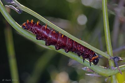 Polydamus Swallowtail caterpillar, Castellow Hammock Preserve, Miami-Dade County, Florida, Battus polydamus