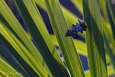Bagworm Moth Cocoon