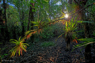 Bromeliads at sunrise, Fakahatchee Strand Preserve State Park, Collier County, Florida