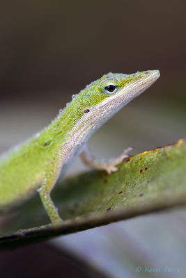Carolina Anole, Everglades National Park, Florida, Anolis carolinensis