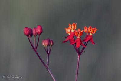 Prairie Milkweed 4; Few-flowered Milkweed