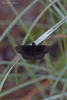 Florida Duskywing butterfly, Everglades National Park, Florida, Ephyriades brunnea