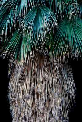 California Fan Palm, Joshua Tree National Park, California, Washingtonia filifera