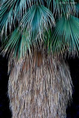 California Fan Palm, Joshua Tree National Park, California