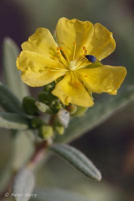 Florida Scrub Frostweed, Jupiter Ridge Natural Area, Jupiter, Florida, crocanthemum nashii
