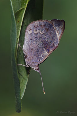 Florida Purplewing, Dagny Johnson Key Largo Hammock Botanical State Park, Florida, Eunica tatila