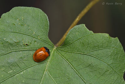 Tortoise beetle, Secret Woods Nature Center, Dania Beach, Florida, Chelymorpha cribaria