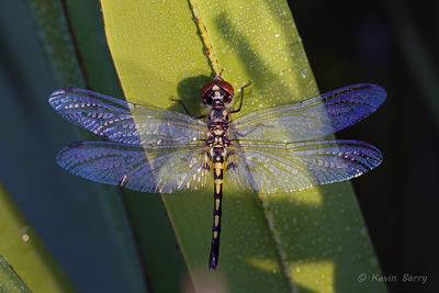 Ornate Pennant, Allen David Broussard Catfish Creek Preserve State Park, Polk County, Florida, Celithemis amanda