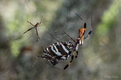 Golden Silk Spider with Zebra Swallowtail prey