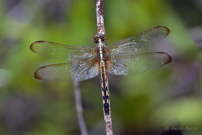 Band-winged Dragonlet (female), Everglades National Park, Florida, Erythrodiplax umbrata