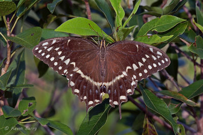 Palamedes swallowtail, Everglades National Park, Florida, Papilio palamedes