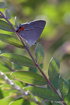 Gray Hairstreak, Everglades National Park, Florida, Strymon melinus