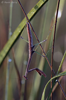 Praying mantis at sunrise, Big Cypress National Preserve, Florida