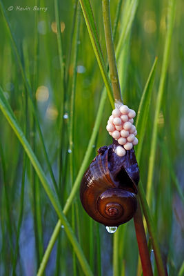 Florida Applesnail laying eggs, J.W. Corbett Wildlife Management Area, Palm Beach County, Florida