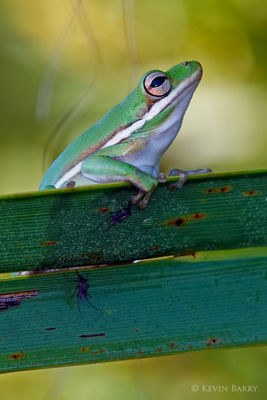 Green Tree frog and friends, J.W. Corbett Wildlife Management Area, Palm Beach County, Florida