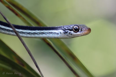 Peninsula Ribbon Snake, Big Cypress National Preserve, Florida, Thamnophis sauritus sackenii