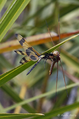 Needham's Skimmer preying on a Halloween Pennant, Everglades National Park, Florida, Libellula needhami, Celithemis eponina