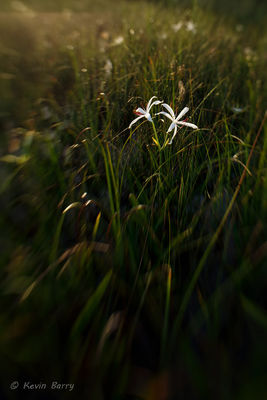 Swamp Lily, String Lily, Big Cypress National Preserve, Florida, Crinum americanum