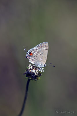 Mallow Scrub-Hairstreak on Snow Squarestem, Big Cypress National Preserve, Florida, Strymon istapa, Melanthera nivea