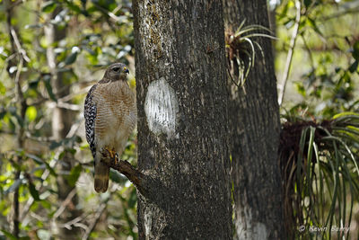 Red-shouldered Hawk, Fakahatchee Strand Preserve State Park, Collier County, Florida