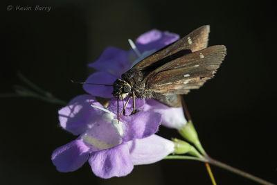 Twin-spot Skipper on False Foxglove, Everglades National Park, Florida, Oligoria maculata, Agalinis fasciculata