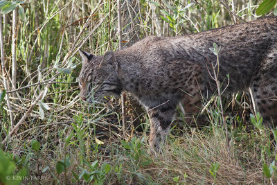 Bobcat, Merritt Island National Wildlife Refuge, Florida, Lynx rufus