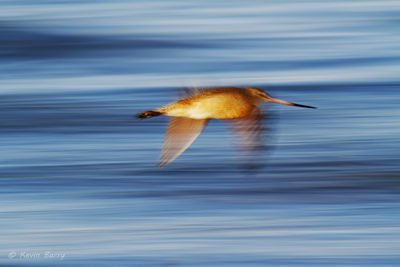 Marbled Godwit, The Salton Sea, Imperial County, California