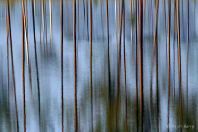 Pine tree reflections, Polk County, Florida