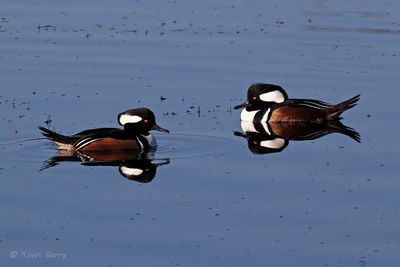 Hooded Mergansers, Viera Wetlands, Brevard County, Florida