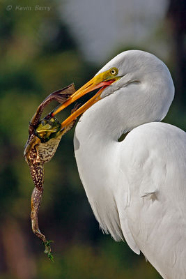 Great egret with frog, Green Cay Wetlands, Boynton Beach, Florida