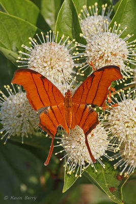 Ruddy Daggerwing on Buttonbush, Snake Warrior's Island Natural Area, Miramar, Florida, Marpesia petreus, Cephalanthus occidentalis