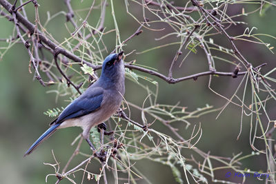 Mexican Jay, Madera Canyon, Arizona