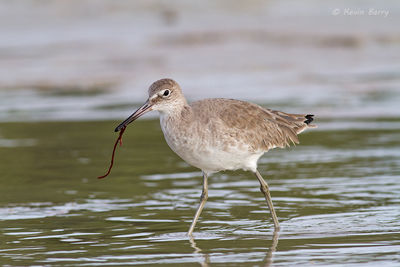 Willet with marine worm, Lee County, Florida