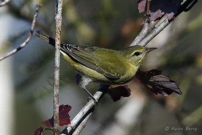 Tennessee Warbler, Big Cypress National Preserve, Florida, Oreothlpis peregrina