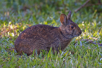 Marsh Rabbit, Broward County, Florida