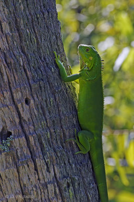 Green Iguana, Snake Warrior's Island Natural Area, Miramar, Florida