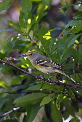 White-eyed Vireo, Broward County, Florida