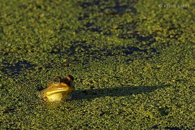 Pig Frog, Orlando Wetlands, Florida, Lithobates grylio