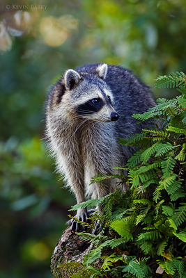 Raccoon, Miami-Dade County, Florida, Procyon lotor