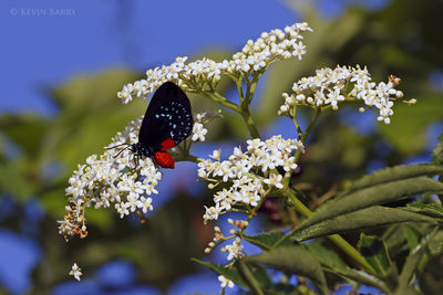Atala Hairstreak butterfly