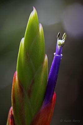 Cardinal Airplant Flower