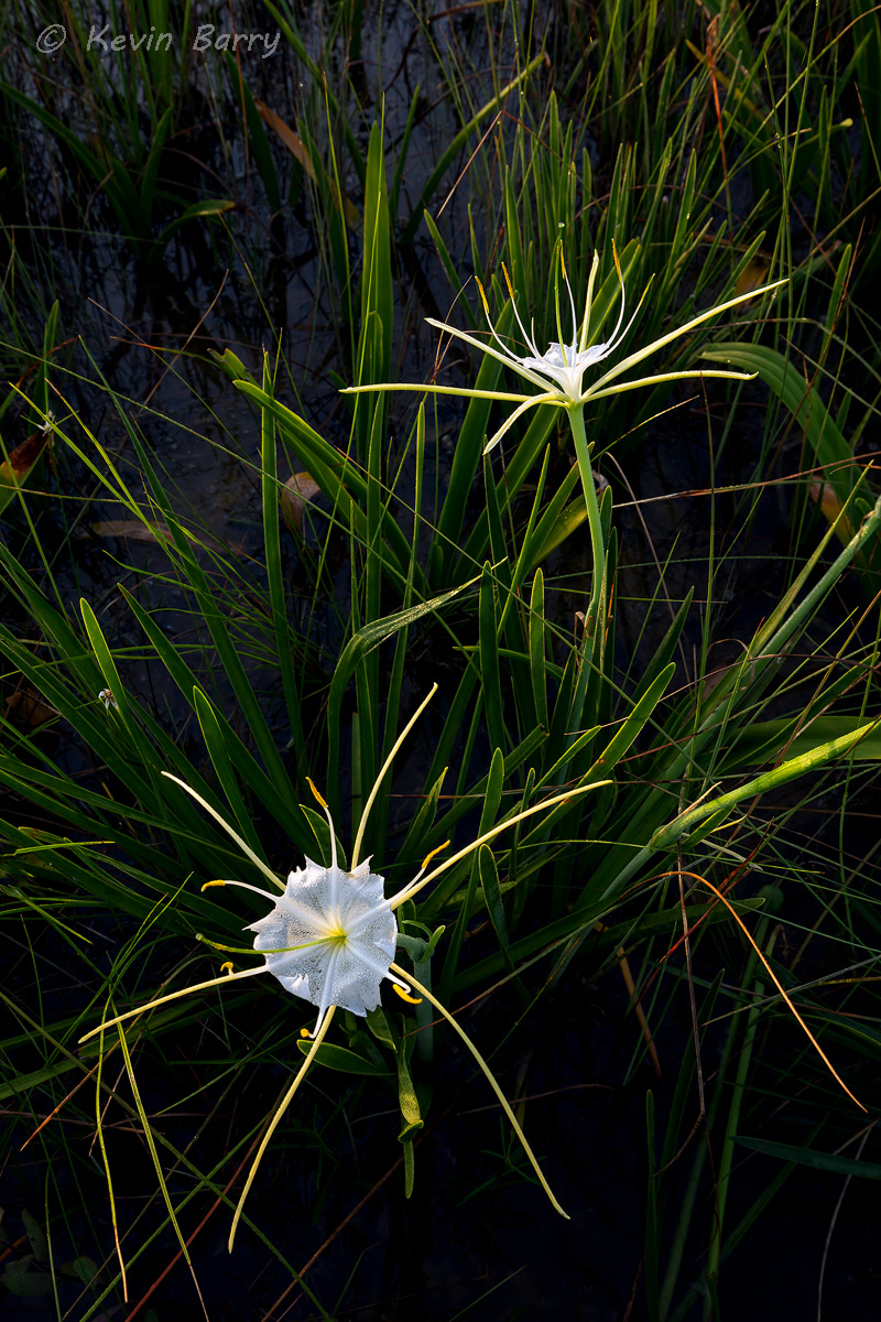 The Alligator Lily (Hymenocallis palmeri) is endemic to Florida, found in cypress swamps, wet meadows, open pine woodlands and...