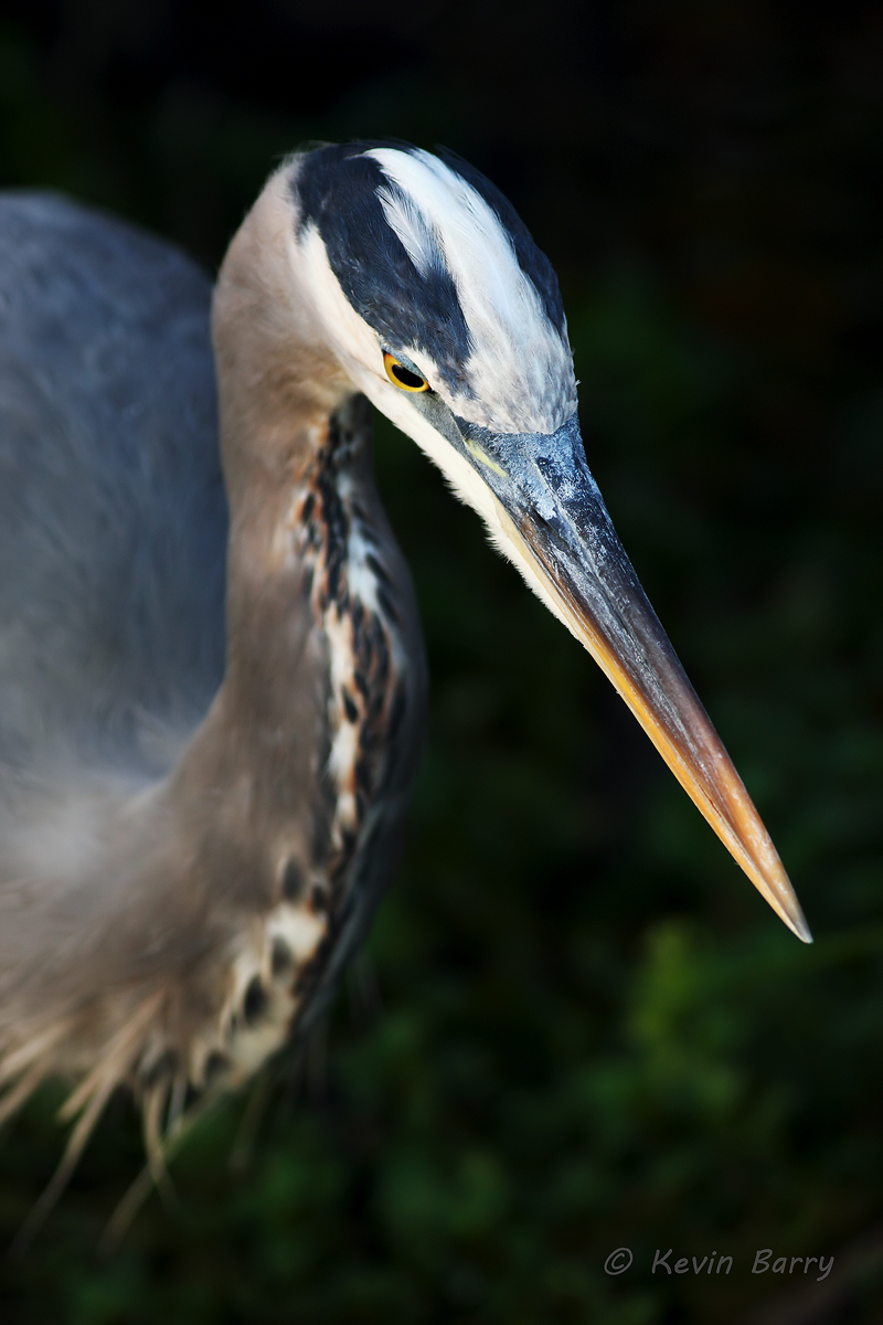 Great Blue Heron, Everglades National Park, Florida, Ardea herodias, photo