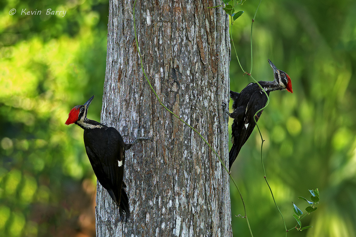 Pileated Woodpeckers, Riverbend Park, Jupiter, Florida, birds, avian, two, tree, horizontal, USA, America, south, southern, green...