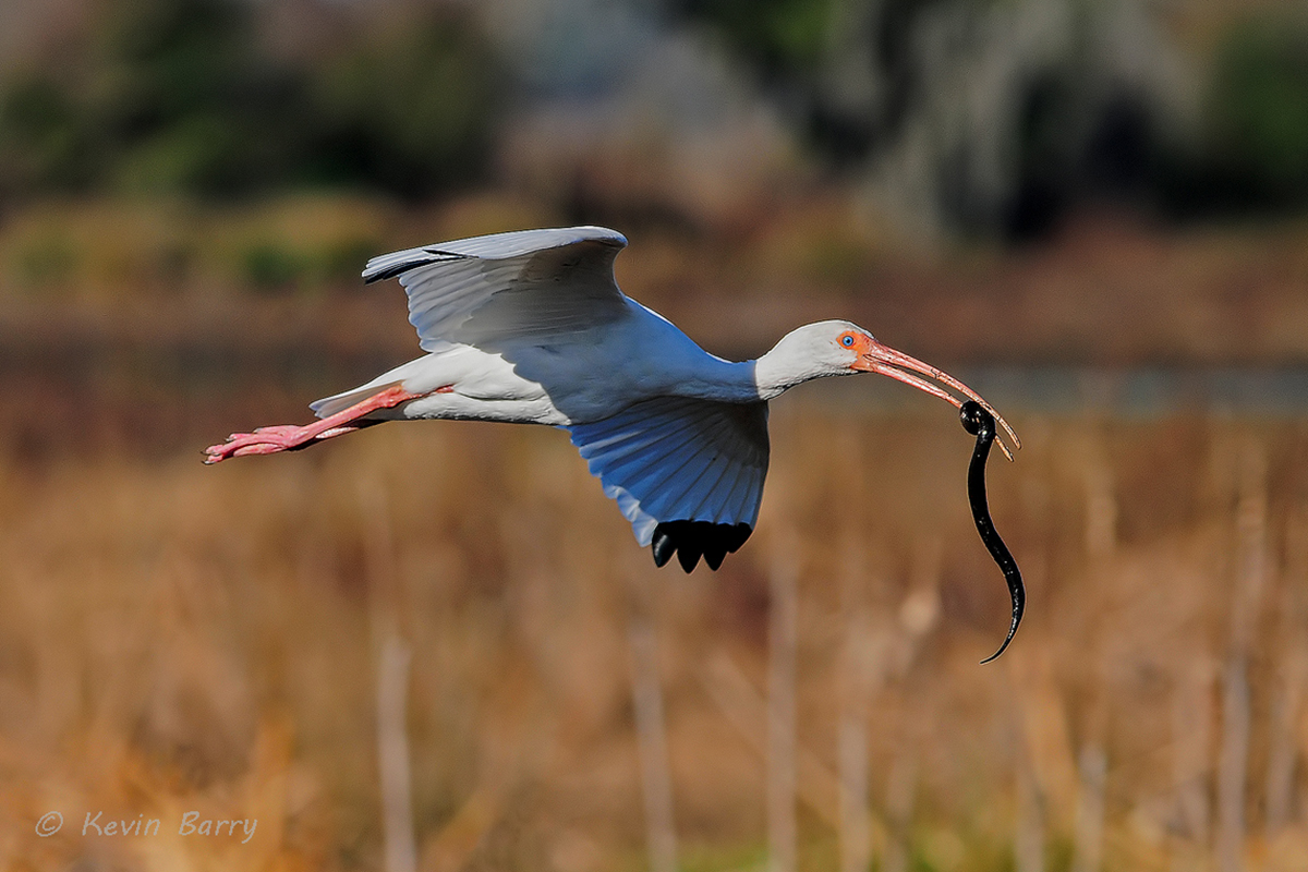 After capturing a Black Swamp Snake (Seminatrix pygaea), a White Ibis (Eudocimus albus) flies off to finish his meal.