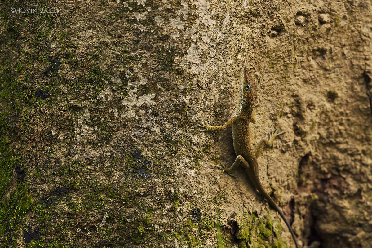 A Carolina Anole (Anolis carolinensis) changes from green to brown to better blend in with his surroundings.