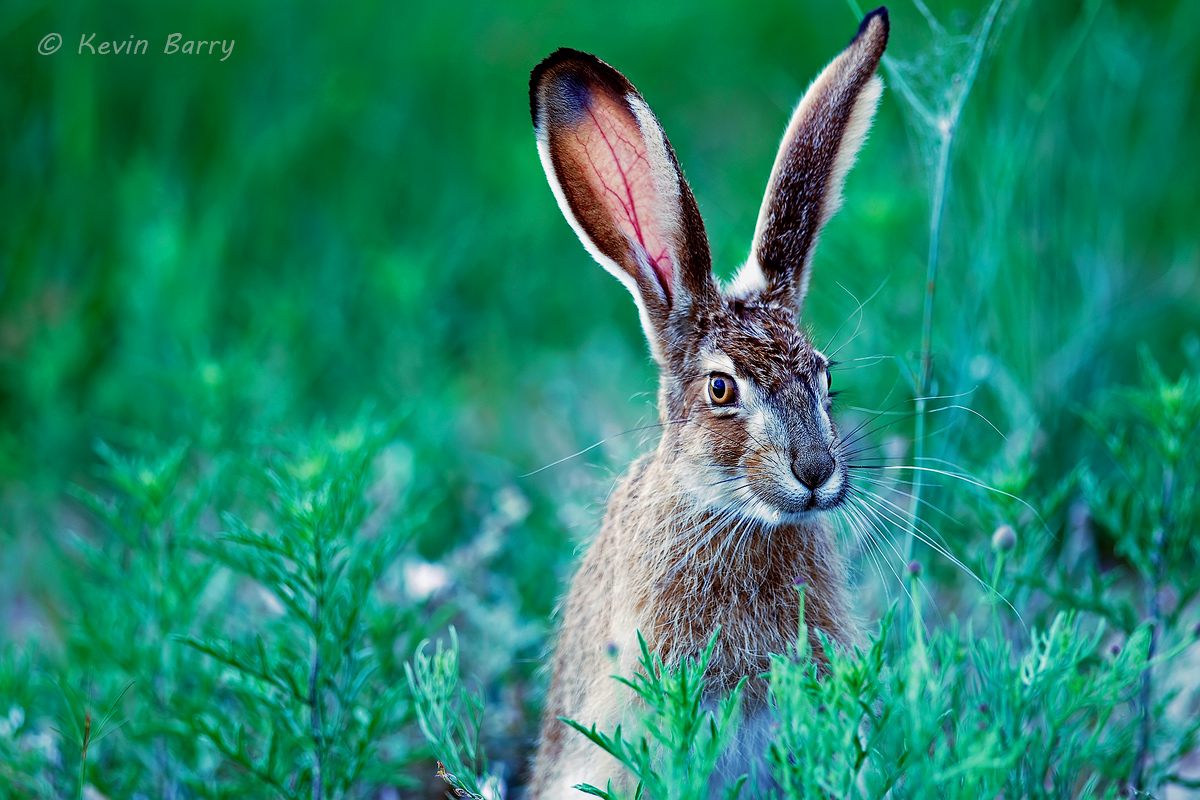 Black-tailed Jackrabbit, Texas, Buffalo Lake National Wildlife Refuge, Randall County, Texas, Lepus californicus, photo