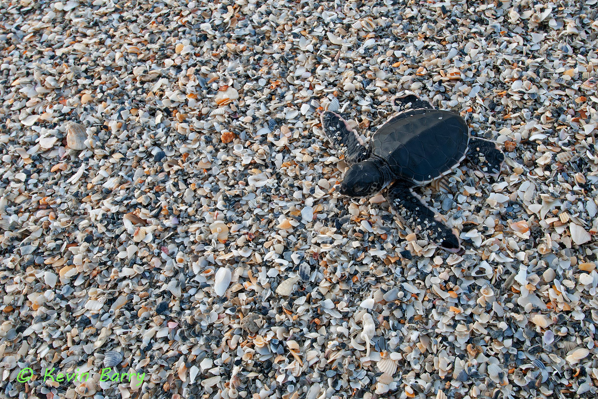 The Green Sea Turtle(Chelonia mydas) is a large sea turtle of the family Cheloniidae. The greatest threats to this endangered...