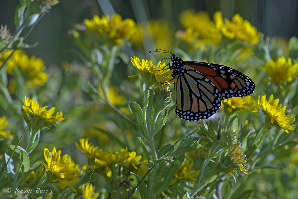 The monarch butterfly (Danaus plexippus) is probably the most familiar North American butterfly, and is considered an iconic...
