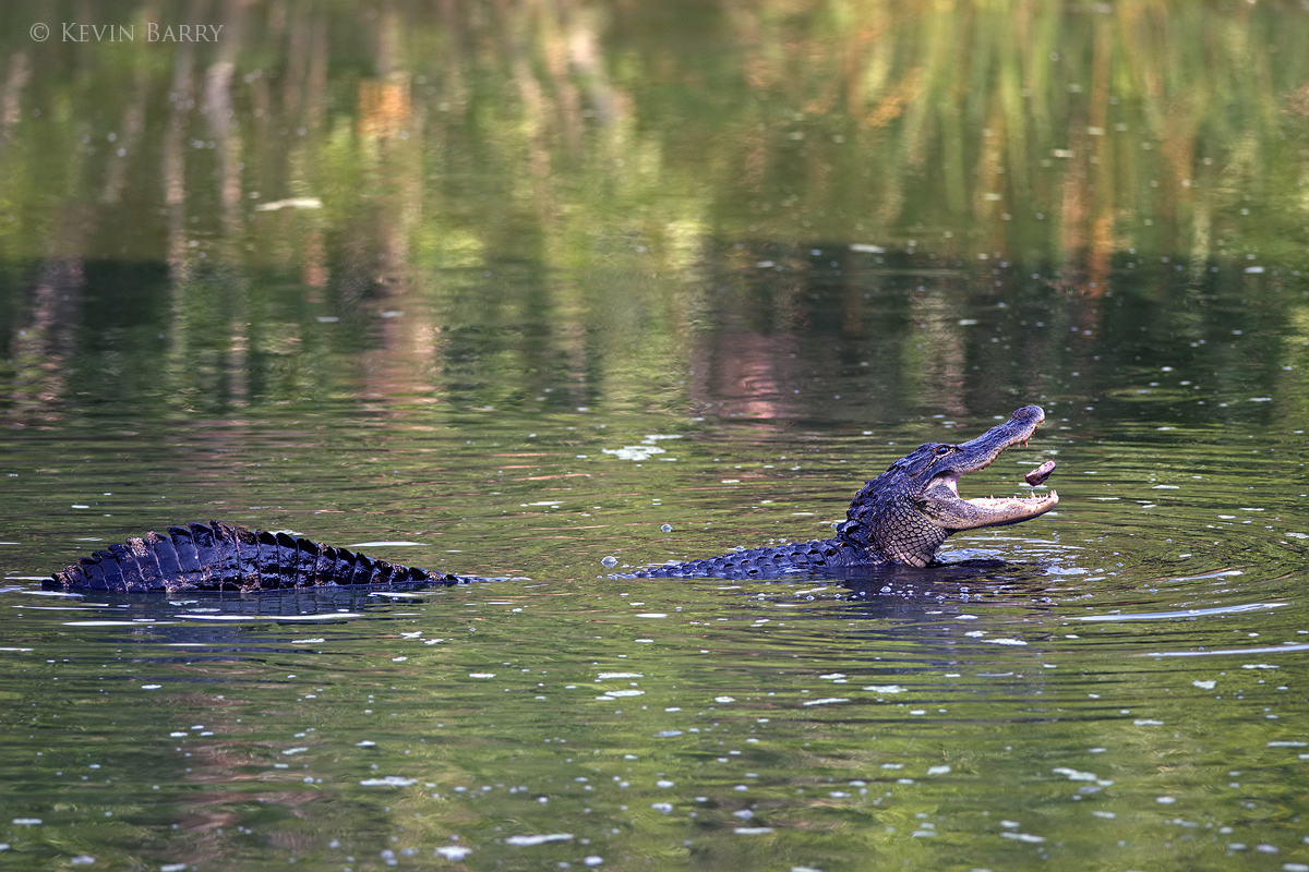 At the height of the dry season in Florida's everglades, American Alligators (Alligator mississippiensis) gather in the few remaining...